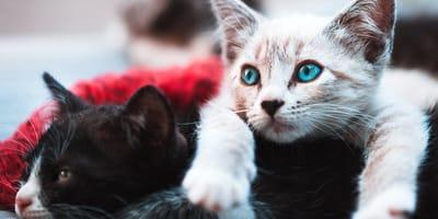 Fai il test: che razza di gatti ti corrisponde?