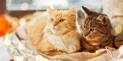 Sei più attratto dai gatti a pelo corto o dai gatti a pelo lungo?